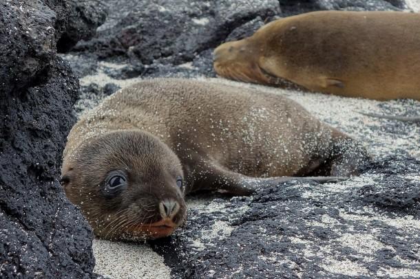 Galapagos - Isla Fernandina - Sea lion baby