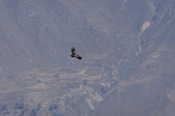 Peru - Condor flying in Colca Canyon