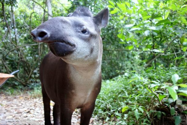 Bolivia - Serere Reserve - friendly Tapir