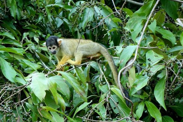 Bolivia - Serere Reserve - Squirrel monkey (Totenkopfäffchen)