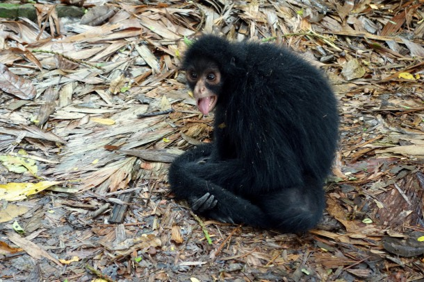 Bolivia - Serere Reserve - Spider monkey at the house