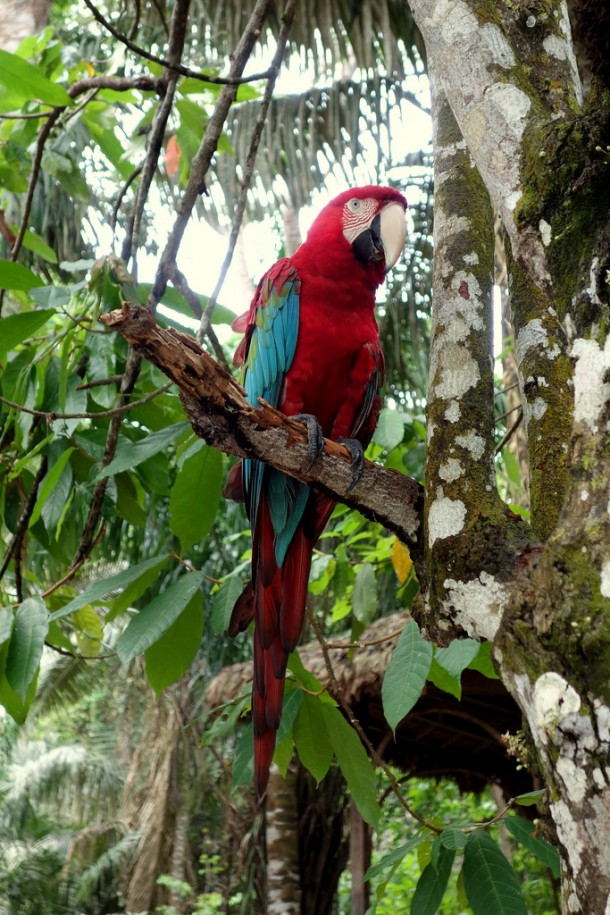 Bolivia - Serere Reserve - Ara