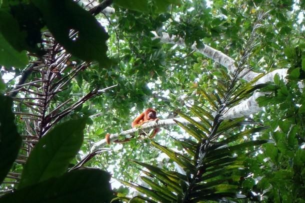 Bolivia - Serere Reserve - Howler Monkey (Brüllaffe)