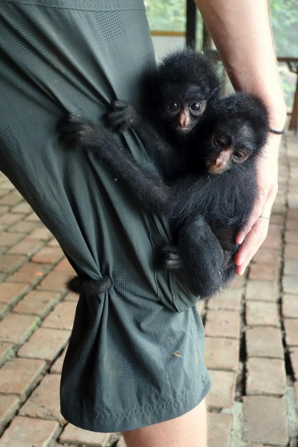 Bolivia - Serere Reserve - 2 Baby spider monkeys