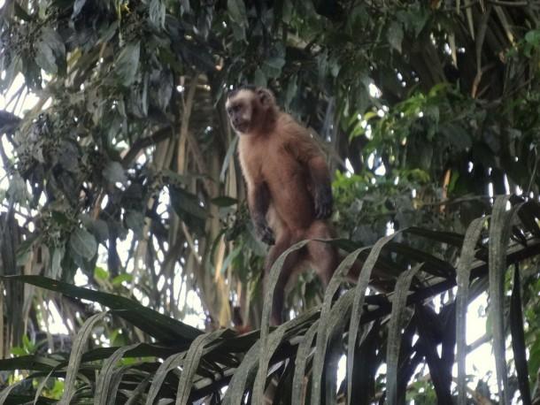 Bolivia - Serere Reserve - Capuchin Monkey (Kapuzineräffchen)