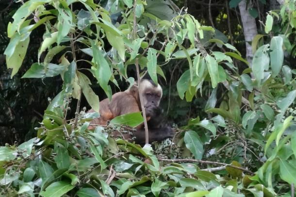 Bolivia - Serere Reserve - Cappuchin monkey (Kapuzineräffchen)
