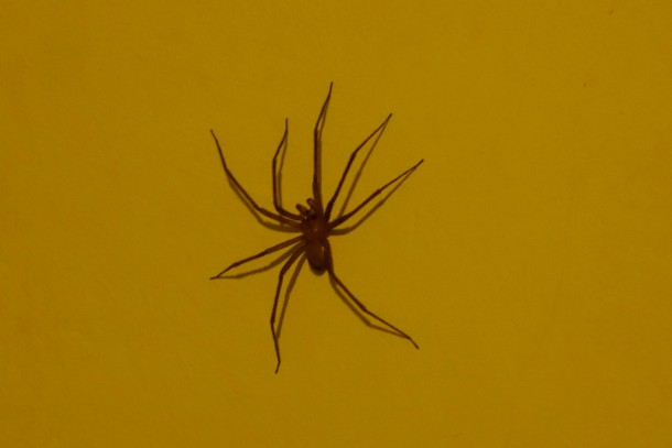 Chile - Valparaíso, Chilean Recluse Spider in our bedroom (poisonous, deadly!)