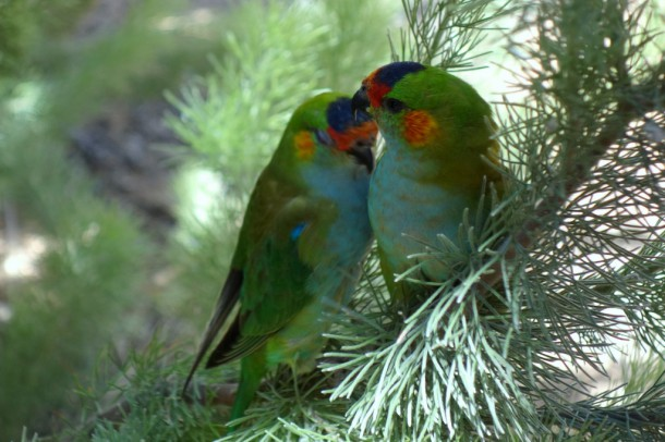 Australia - Kalbarri, Rainbow Jungle Parrot Breeding Center